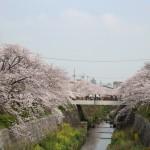 桜とインドカレーと冷えとりコーデ。
